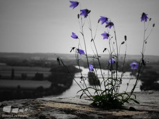 Walhalla-Blume