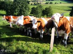 Kühe auf der Wasserkuppe