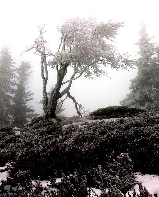 Eisbaum im Nebel